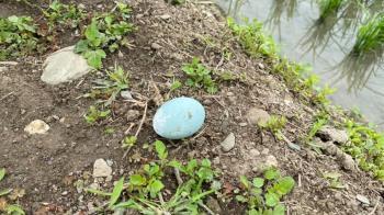田裡冒出「Tiffany藍神秘蛋」 台東青農:又亂棄嬰!