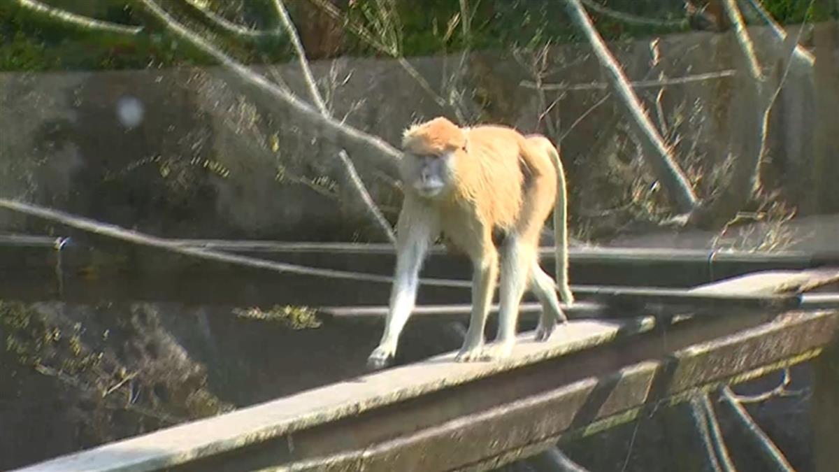 北市立動物園又上演落跑!子紅猴聲東擊西助父逃脫