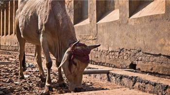 懷孕母牛狂踢肚子!腹中竟藏71公斤垃圾 小牛沒生長空間夭折