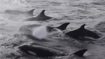驚人畫面曝!70頭殺人鯨圍戰15m藍鯨 專家:第一次看到