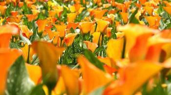 16天花季限定!桃園彩色海芋季 徜徉在6萬株彩芋花海中