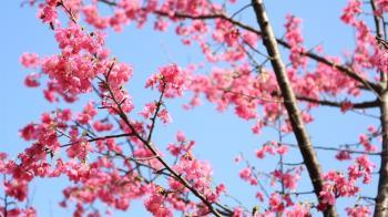 東京櫻花盛開 日本氣象廳:比往年早12天
