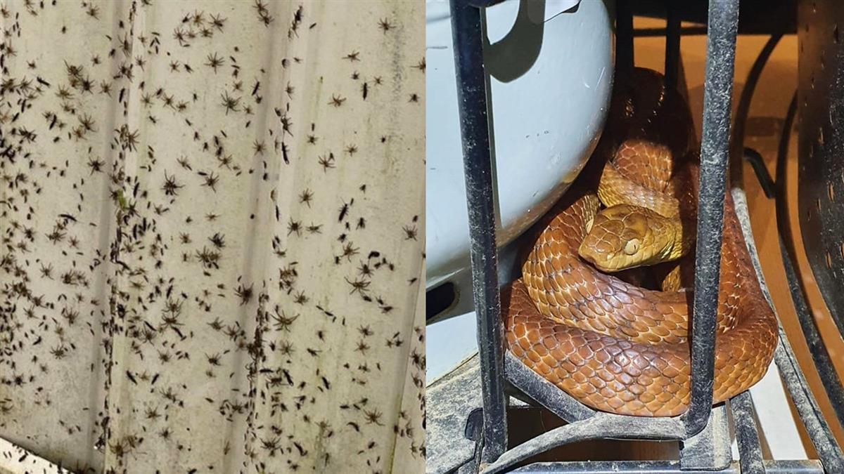 澳洲百年一遇洪災 數千蜘蛛、大蛇竄逃超嚇人