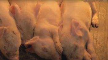 美豬三階段飼養 美國豬農量身打造五星豬舍