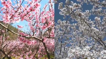 獨/福壽山農場白色櫻花爆發 武陵農場桃花開
