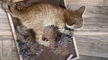 幼貓黏捕鼠板哀號遭控虐貓 早餐店老闆娘喊冤