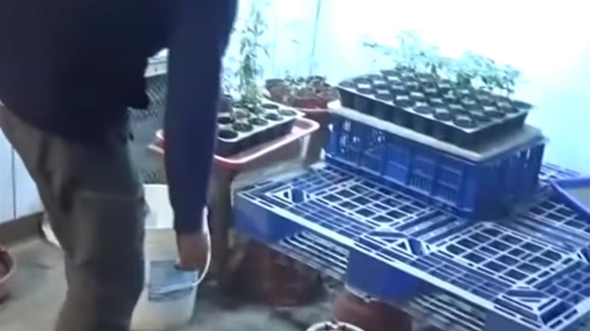 養大閘蟹失敗想翻身 他把魚塭改種大麻遭查獲