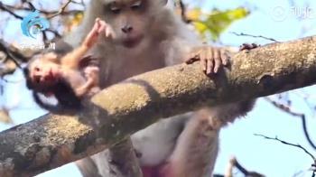 幼猴求抱抱!母猴撥開推下樹慘死 真相曝光超鼻酸