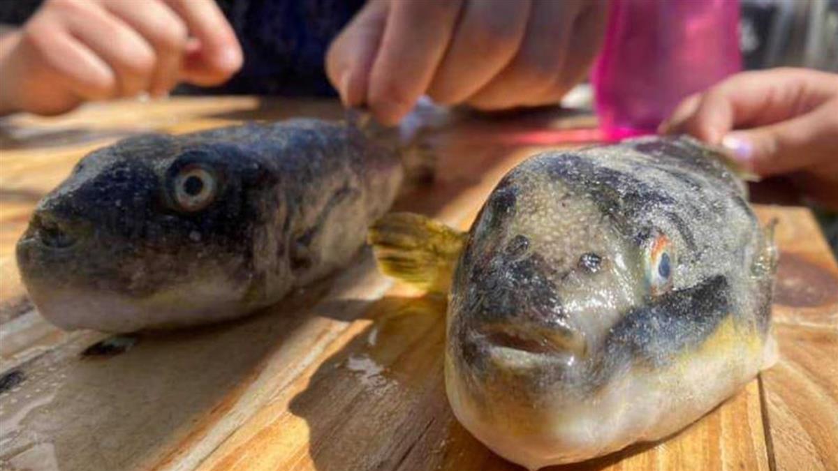 破百隻「惡眼河豚」集體擱淺沙灘 專家警告嚴重後果:快遠離!