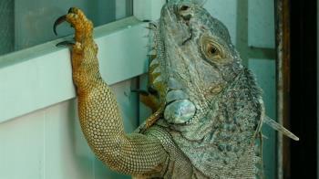 臨盆綠鬣蜥闖民宅狂敲門 民眾嚇壞秒打119:快來抓