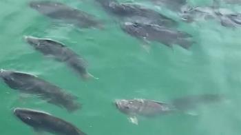 日月潭台灣鯛集體衝潭面 專家:水位太低溶氧不足