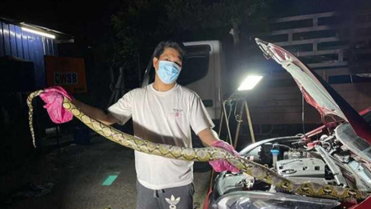 開車返家「引擎滲血」沿路滴 檢查驚見3.6公尺蟒蛇