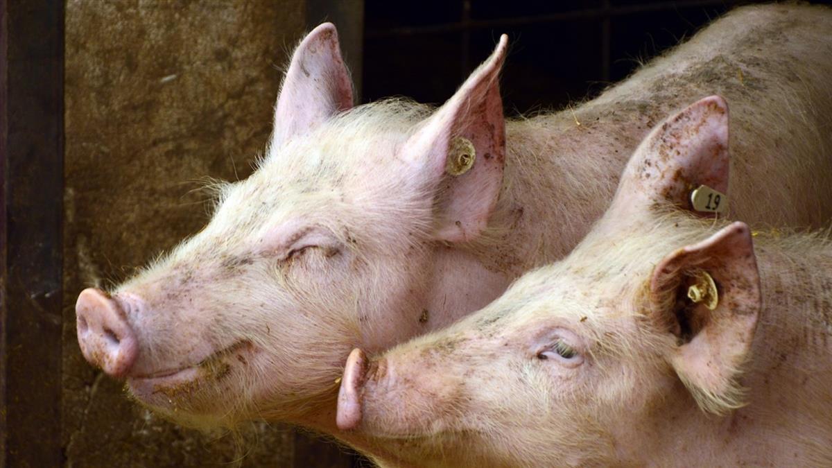 新北萬里爆「海漂死豬」 非洲豬瘟驗出陽性