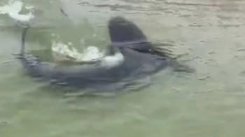 1.8公尺巨鯊直衝海灘 泳客尖叫狂逃全都錄