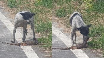 浪浪變身「屠龍高手」 馬路驚見綠鬣蜥成狗糧畫面曝