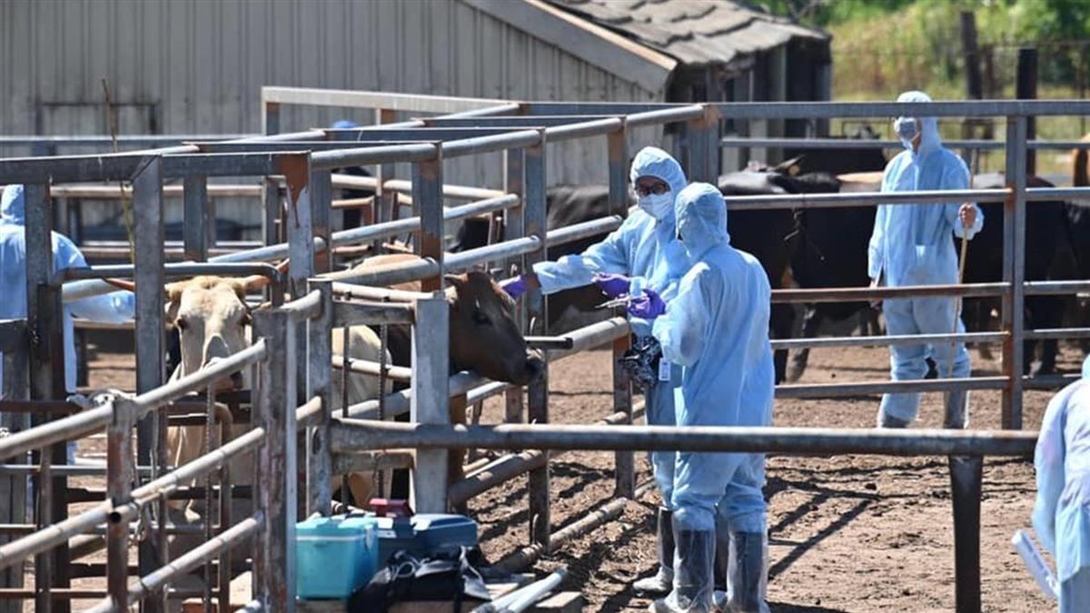 林口爆首例牛結節疹「病毒與陸一樣」急撲殺8頭發燒牛隻