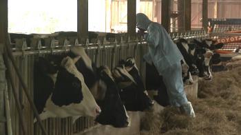 台灣本島爆「牛結節疹」 雙北養牛場緊急注射疫苗
