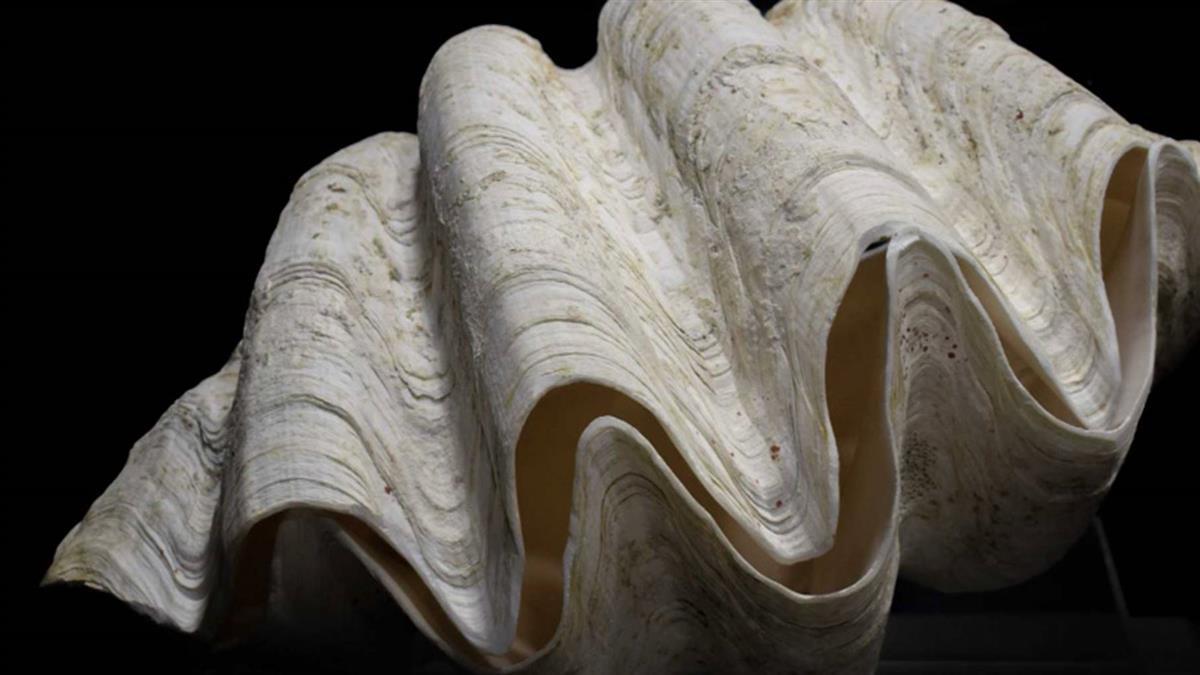 菲律賓查扣200噸「巨型蚌殼」 市值7億成盜獵者新歡