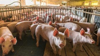 史上最大規模!日本爆發豬瘟 將花3週撲殺3萬7千頭豬