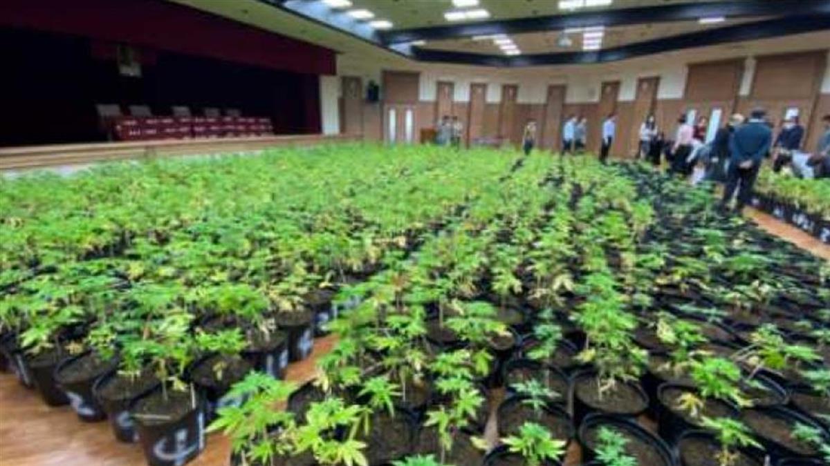 破紀錄!調查局查獲1608株大麻 市值5億