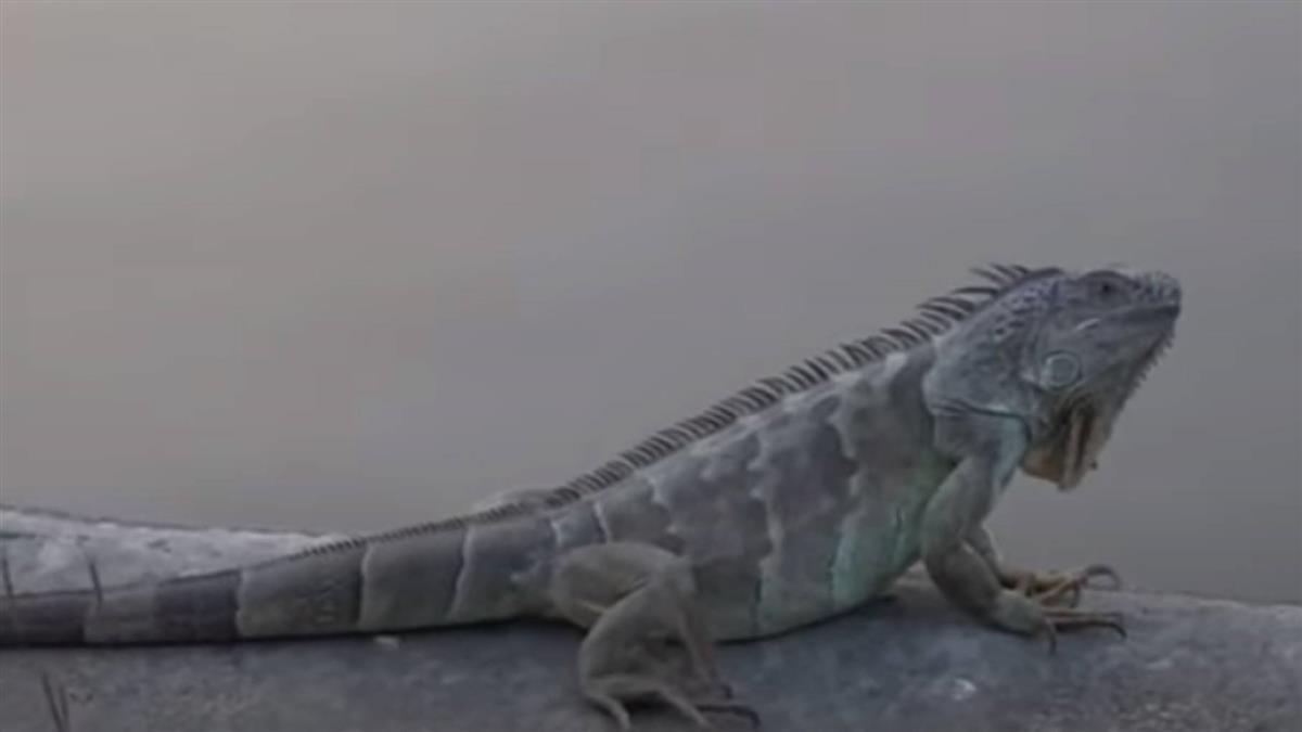 綠鬣蜥進擊市區 衛武營淪為「繁殖地」抓不勝抓