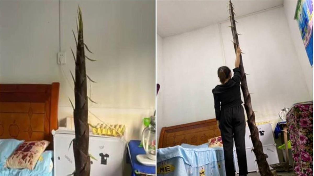 宿舍長「3公尺巨筍」直逼天花板 校方:頂破地板非首次