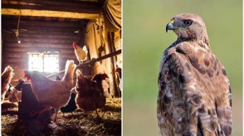「台東最強老鷹」闖雞場吃到飽 千隻放山雞被嚇死