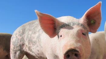 金門海漂死豬「確診非洲豬瘟」 暫停產品輸出1周