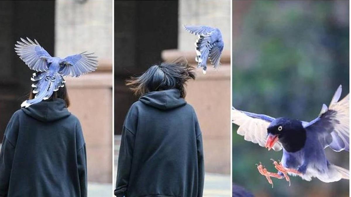 台灣藍鵲滿天飛!文大生被狂巴頭 後勁強還會痛數分鐘
