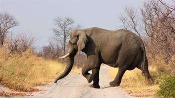 泰男遇到大象嚇壞狂叫 慘遭踩踏「4根肋骨斷光」慘死
