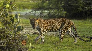 杭州動物園三隻豹子「越獄」多日 園方為隱瞞消息道歉