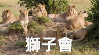 確診獅子王身分 五股地區地主 愛上茶店消費