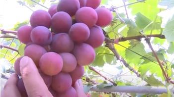 葡萄無辜啊!水果盤商家族染疫 彰化葡萄被退訂