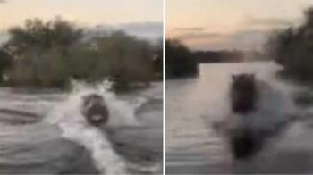 遊湖遭河馬瘋狂追殺4分鐘 遊客嚇壞:這很罕見