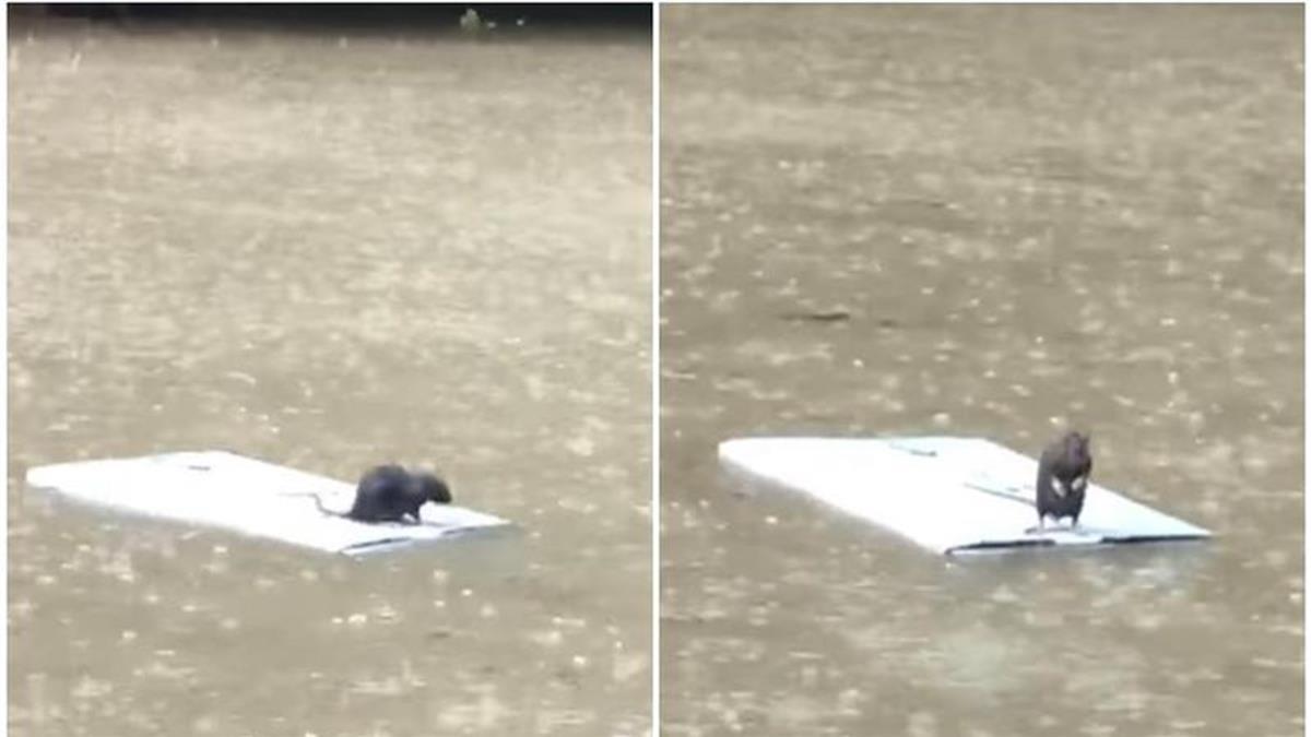 暴雨狂灌信義區 鼠鼠站「救命浮板」漂流超無助