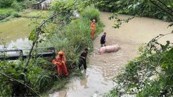 250KG大白豬跌進水塘 消防出動吊車緊急救援
