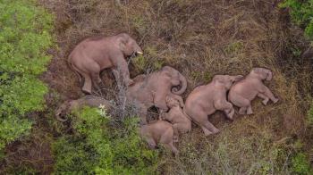 雲南象群走500公里累癱!倒地睡一片「小象擠中間」萌翻了