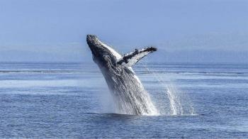 悚!漁夫遭鯨魚「生吞」40秒 四周漆黑用手一摸:在牠嘴裡
