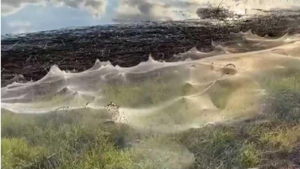 澳洲水患後現空靈美景 蜘蛛「絲路」披覆大地如藝術品