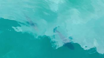 日月潭水位回升「湖中惡霸」橫行 威脅原生魚種