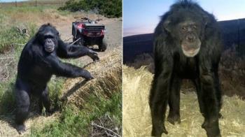 養17年!黑猩猩突攻擊主人愛女 警一槍把牠爆頭