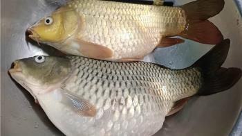 鄰居送2條大肥魚「肚裡全是卵」內行人一看嚇壞:快拿去還