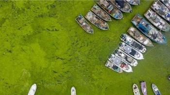 山東青島面臨史上最嚴重滸苔災害 黃海設置3道防線打撈24萬噸