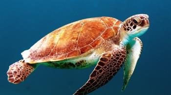 小琉球空拍到805隻海龜 創有記錄以來最多