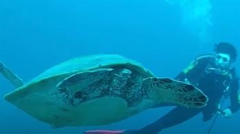 破紀錄805頭!全島被海龜包圍 小琉球人超興奮