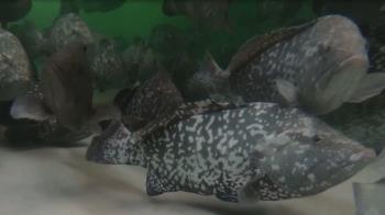 好「膽」來闖海南 養魚養到吹口哨就來啦!