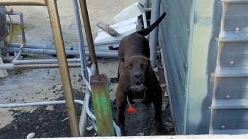 黑手黨最愛猛犬「卡斯羅」流浪到嘉義  民眾嚇壞急報警