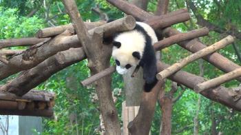 陸熊貓保育成績亮眼 8歲台妹圓仔有望「脫單」