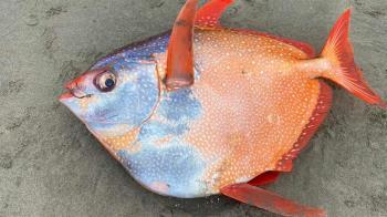 45公斤巨型魚遭沖上岸 全球唯一「溫血魚」眼鑲金斑