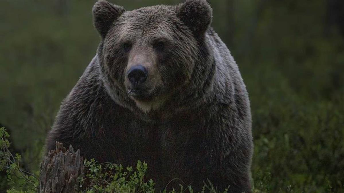 東京奧運首戰會場「熊出沒」 警方施放鞭炮嚇退驅離